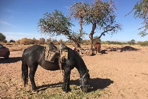 Cheval d'Atacama au Chili