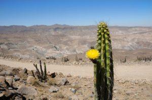 cactus a Atacama