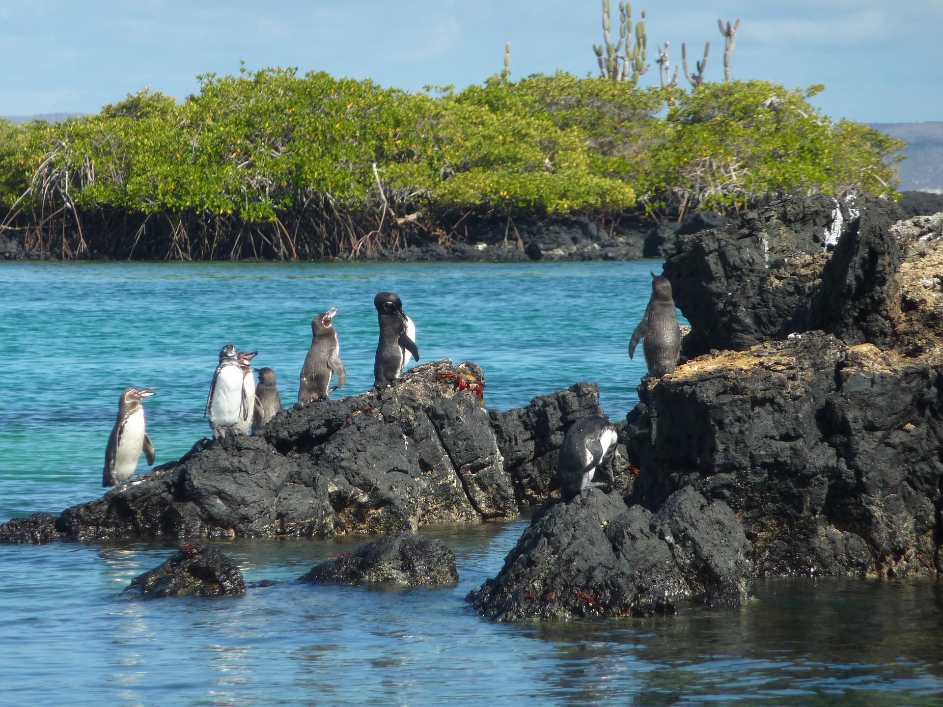 Manchots des Galapagos
