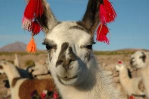 Photo d'un lama péruvien