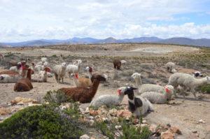 Photo de Lamas dans le canyon de Cocla
