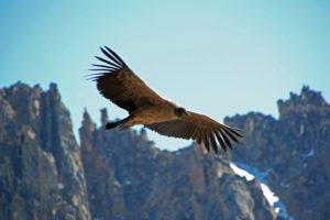 Condor vallée de colca
