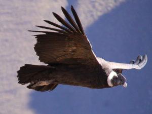 Condor Colca