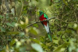 Un Quetzal, oiseau très rare