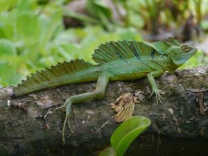 Iguane Tortuguero