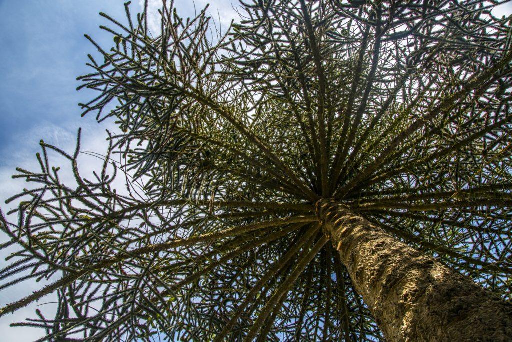 eucalyptus au chili