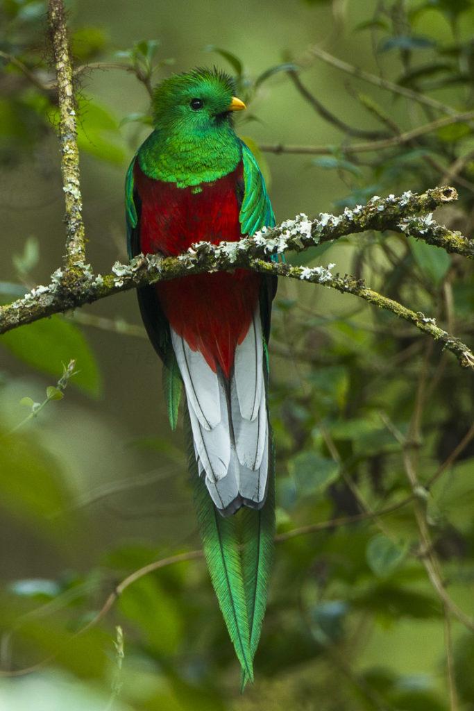 Présent dans la Parc National Los Quetzal, le quetzal resplendissant est un oiseau sacrée de couleur verte, rouge et blanc. Que voir au Costa Rica ?