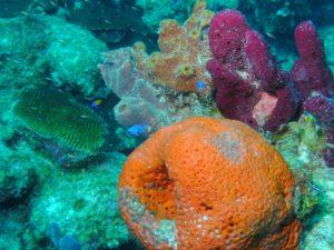 Corail du récif alacranes au Yucatán au Mexique - les réserves naturelles du Yucatán