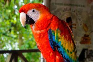 aras-rouge-posé-chiapas-mexique