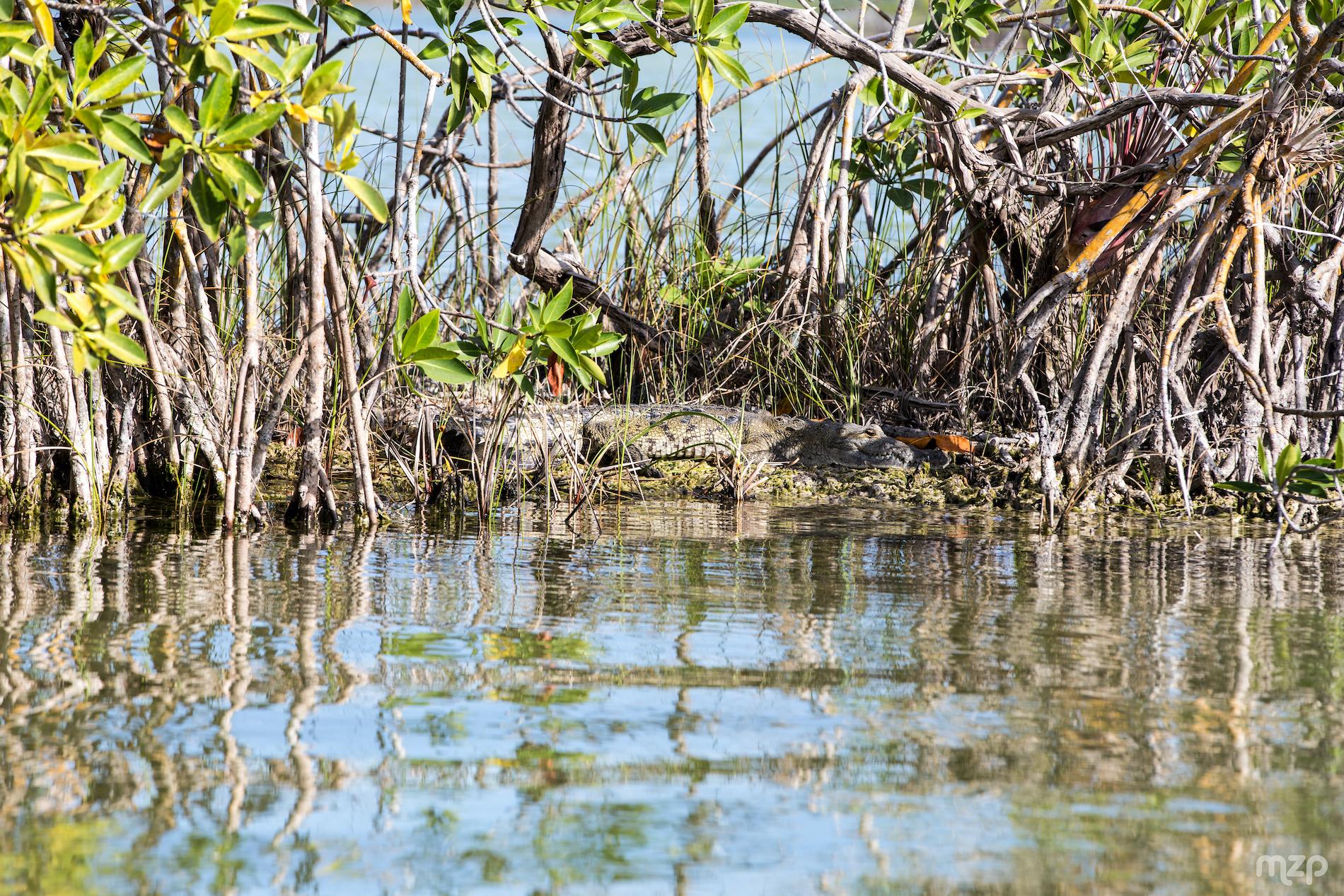 crocodile-mangeove-bacalar