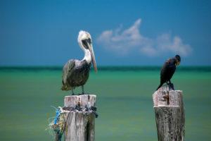 pélican-cormoran-sur-des-poteaux-île-holbox-circuit-15-jours