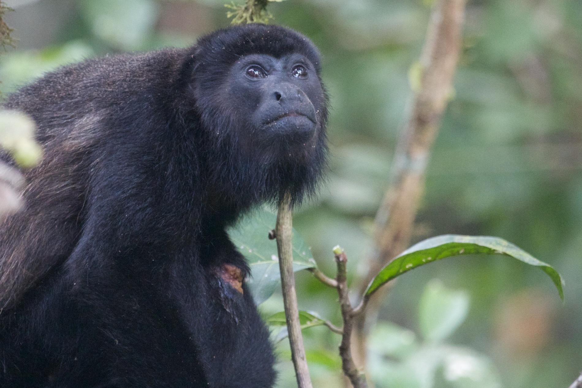 singe-hurleur-jungle-lacandone-communauté