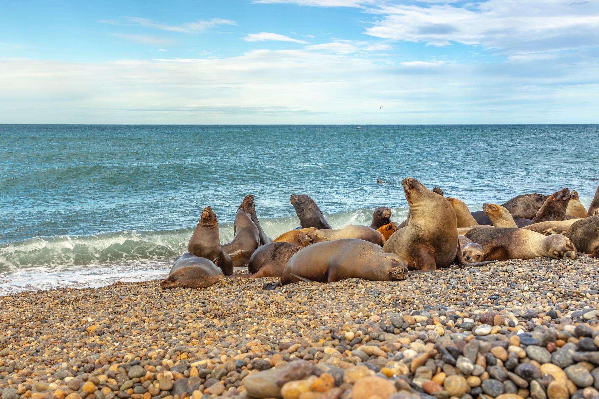 Phoques des plages d'Argentine de Patagonie