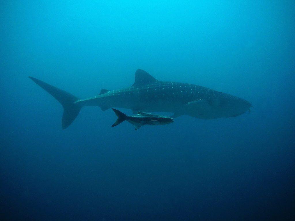 Requin baleine à Holbox