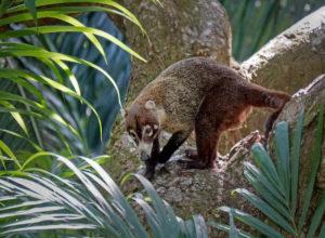 Coati du Costa Rica