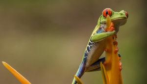 Grenouille verte du Costa Rica