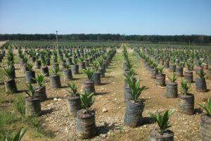 Plantation de palmier au Costa Rica