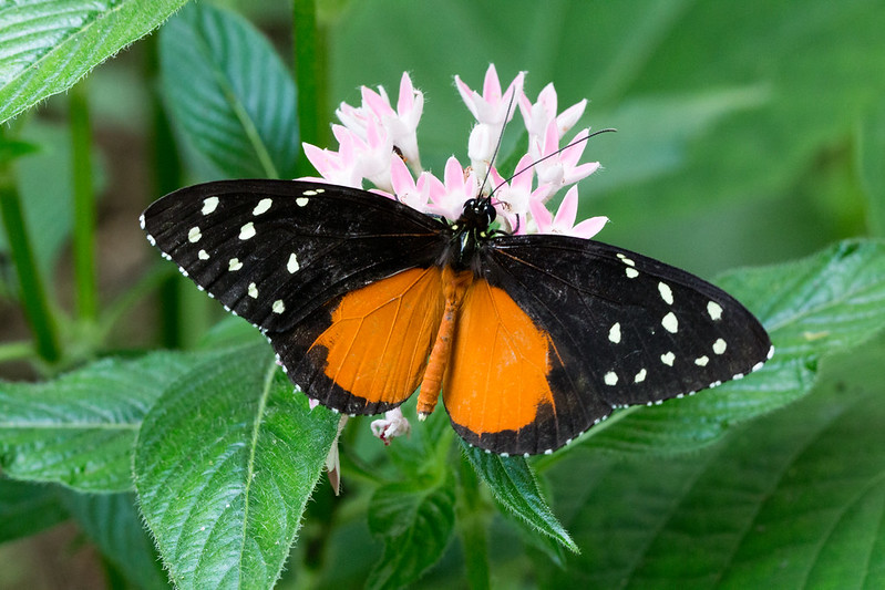 papillon orange du costa rica