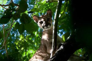 Puma dans un arbre dans le jungle du Costa Rica