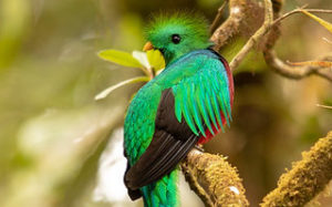 Oiseau du Costa Rica le Quetzal