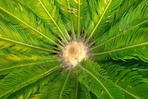 cœur de palmier