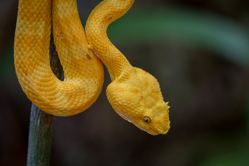 Vipère jaune du Costa Rica