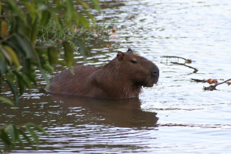 Caybira dans l'eau de la pampa en Bolivie