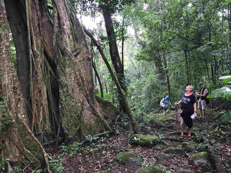 Ficus, Rincon de la Vieja