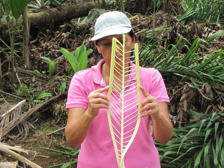 Coeur de palmier, Sarapiqui
