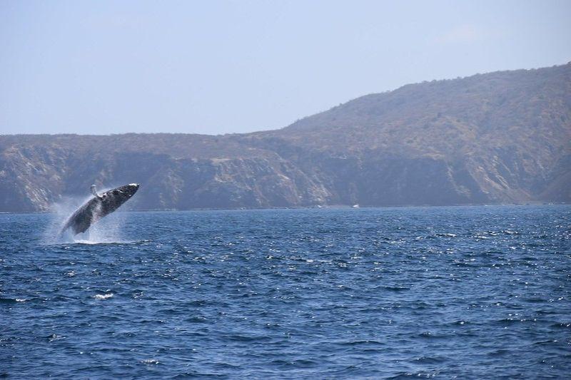 Baleine à bosse aux larges de l'île de Plata dans le parc national Machalilla
