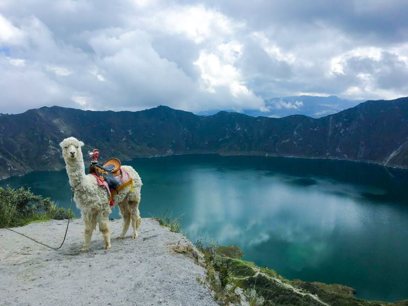Lama en face de la lagune Quilotoa en Équateur