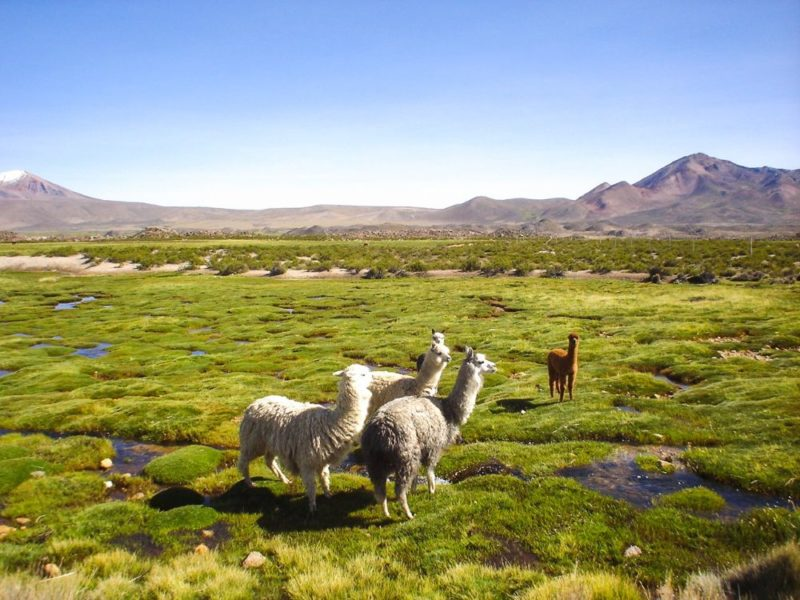 lamas dans le parc national Sajama