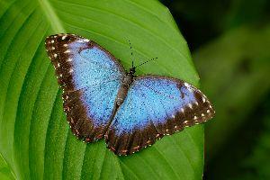 Papillon - Costa Rica