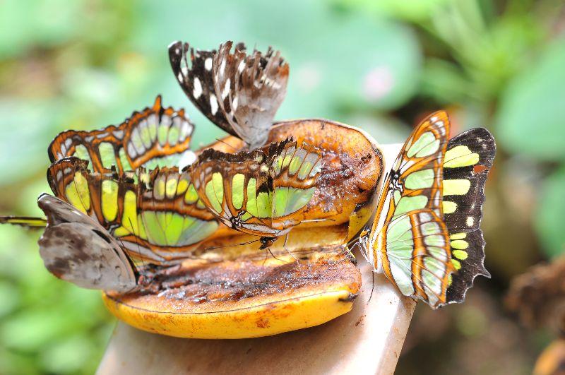 Papillons sur une banane au Mariposario de Mindo