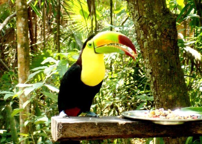 Toucan, espèce présente en Bolivie, dans la forêt