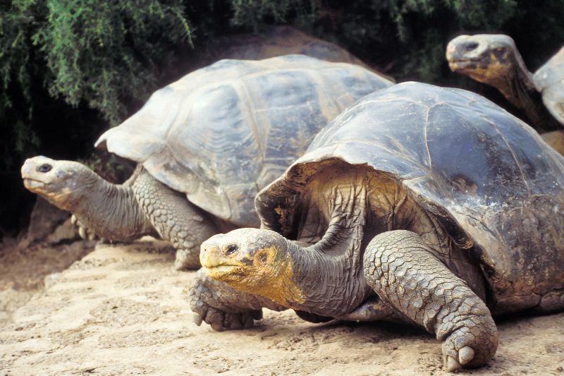 Deux tortues géantes de l'île de Santa Cruz aux îles Galapagos