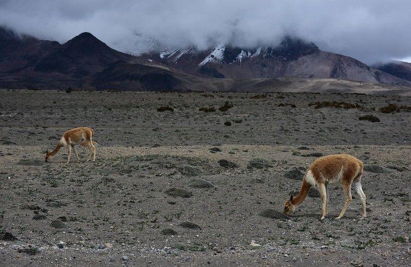 Les vacuñas au pied du volcan Chimborazo
