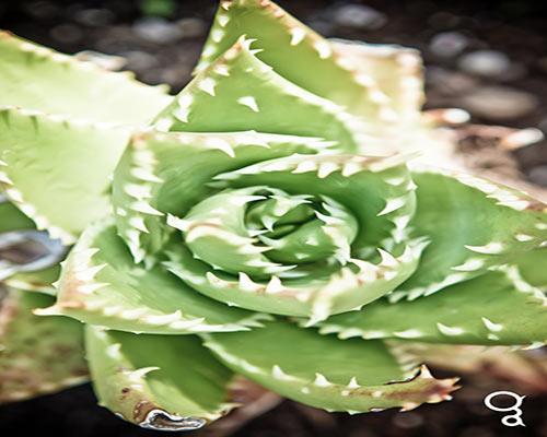 Aperçu d'une plante succulente sur le sol volcanique du parc national de Timanfaya à Lanzarote
