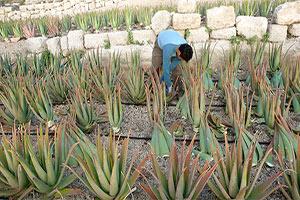 Découvrir le savoir-faire des travailleurs dans une ferme d'Aloe Vera à Lanzarote